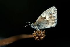Small Heath (Louise Morris (looloobey)) Tags: 34i4344 smallheath 1dxii 100mm macro butterfly astonrowant andy early warm heathland hill august2018