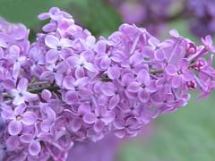 Lilac Love (Cher12861 (Cheryl Kelly on ipernity)) Tags: springblooms lilac syringavulgaris purple nature beauty macro closeup