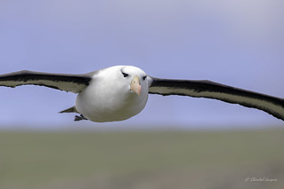 Flying in the Falklands - Black- Browed Albatros