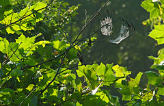 "Out on a limb _~_ (Darrell Colby "" You Call The Shots "") Tags: limb out spider spiderweb forest londonontario darrellcolby"