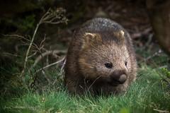 Wombat, Cradle Mountain National Park, Tasmania (Catherine Gidzinska and Simon Gidzinski) Tags: 2017 australia cradlemountain cradlemountainnationalpark december eoyroadtrip tas tasmania wombat ngc nature animal marsupial