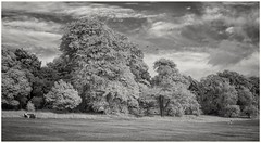 """""""Neighbours....."""" (Phil Dodd CPAGB BPE2*) Tags: canon40d infraredphotography blackandwhitelandscapephotography monolandscape trees monochrome convertedinfraredcamera 720nminfrared canon24105f4l infrared westmidlands smethwick canoneos40d park warleywoods infraredlandscapephotography landscape blackwhite neighbours blackcountry blackandwhitephotography"""