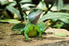 Kew Gardens - August 2018 (Harkins Photography London) Tags: gardens kew london plants flower plant nature botanical lizard reptile dragon