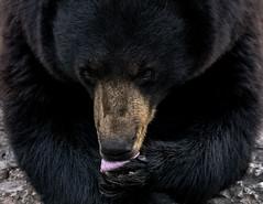 Giving it a lick (Robert R Grove 2) Tags: black bear animal close robertrgrove