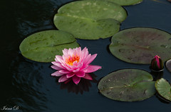 Of summer (Irina1010) Tags: waterlily pink flower floating lilypads water pond summer beautiful nature canon ngc npc