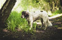 Vee (Xetae) Tags: dog dogphotography pet petphotography animal animalphotography canine caninephotography spaniel springerspaniel englishspringerspaniel