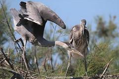 Héron cendré (fauneetnature) Tags: heron héron héroncendré ornithology ornithologie oiseau bird camargue animalier animaux