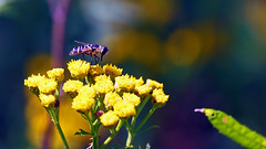 Insect on Tansy (Tanacetum vulgare), Miller Creek - Duluth MN USA, 07/30/18 (TonyM1956) Tags: elements insect millercreek duluth nature minnesota stlouiscounty sonyalphadslr macrounlimited sonyphotographing tonymitchell