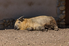 Takin im Moskauer Zoo (marcoverch) Tags: fusball fusballwm moskau zoo fans animals football russland2018 deutschland wm2018 moskva russland ru mammal säugetier noperson keineperson animal tier wildlife tierwelt nature natur portrait porträt fur pelz desert wüste dog hund cute niedlich outdoors drausen hair haar grass gras wild goat ziege eye auge park daylight tageslicht one ein head child bicycle cielo windows landschaft pose event pool coth5 takin moskauerzoo