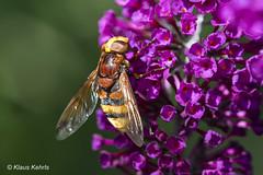 Schmetterlingsflieder - 16071802 (Klaus Kehrls) Tags: flieder sommerflieder pflanzen sreäucher insekten natur blume makro