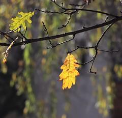 Magia de luz (carlos_ar2000) Tags: hoja leaf dorada golden arbol tree rama branch naturaleza nature dof palermo buenosaires argentina bokeh om
