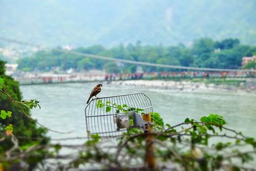 Sparrow of Rhishikesh