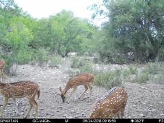 2018-06-24 09:16:59 - Crystal Creek 1 (Crystal Creek Bowhunting) Tags: crystal creek bowhunting trail cam