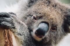 Blinky Bill. (vlamas) Tags: bear naturewatcher nature vacation travel burgenländer austrian eos6dmk2 eos6d canonphoto canon blinkybill koala australien australia
