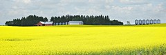 canola (Across & Down) Tags: crop canola yellow farm prairies manitoba erickson canada grain summer