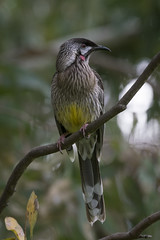 Noisy Local (SteveKPhotography) Tags: stevekphotography sony alpha a99ii ilca99m2 sal70400g2 avian animal bird nature wildlife fauna outdoors westernaustralia redwattlebird anthochaeracarunculata