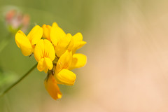 Bird's-foot Trefoil (oandrews) Tags: 30dayswild birdsfoottrefoil bramptonwood canon canon70d canonuk flora flower flowers lotuscorniculatus nature naturereserve orchid orchids outdoors plant plants wildlifetrusts wildlifebcn woodland brampton england unitedkingdom gb