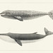 1. The California Gray Whale (Rhachieanectes claucus) 2. The Finback (Balaenoptera velifera) from Natural history of the cetaceans and other marine mammals of the western coast of North America (1872) by Charles Melville Scammon (1825-1911).