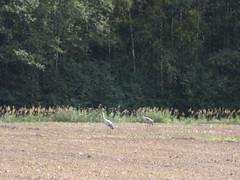 Elu põllul / Life on field (Veeseire) Tags: loodusblogi loodus loomad linnud suvi eesti estonia