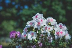 flowers (keelylima) Tags: flowers nature natureza flores yongnuo jardim