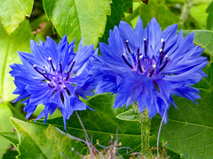 A Pair of Blues (Steve Taylor (Photography)) Tags: cornflower blue green newzealand nz southisland canterbury christchurch northnewbrighton flower leaves closeup macro