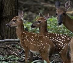 072918148754asmweb (ecwillet) Tags: deer fawn nikon nikond500 nikon200500f56 wildwoodparkharrisburgpa ecwillet ericwillet