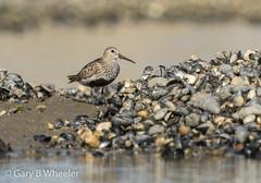 Dunlin (Ponty Birder) Tags: g b wheeler garywheeler pontybirder wales birds waders