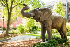 160616_1783_NatTranCampus.jpg-4.jpg (greentufts) Tags: jumbo statue summerstock stock jumbostatue campus academicquad elephant 2016 medfordsomerville mass unitedstates usa