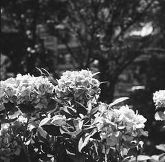 Rolleicord Ⅱ × SHANGHAI GP3 (Amigo Film Photography) Tags: rollei rolleicord rolleicordii ローライ ローライコード ローライコードii compur carlzeiss triotar 二眼レフ monochrome monochromephotography shanghaigp3 上海gp3 白黒写真 120film 120フィルム 中判フィルム モノクローム 6x6 6x6film