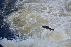 Salmon in Älvkarleby (markus-san) Tags: älvkarleby sweden river salmon