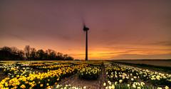 The cooling of the daffodils. (Alex-de-Haas) Tags: 11mm adobe blackstone d850 dutch hdr holland irix irix11mm irixblackstone lightroom nederland nederlands netherlands nikon nikond850 noordholland photomatix beautiful beauty bloem bloemen bloementeelt bloemenvelden cirrus daffodil daffodils floriculture flower flowerfields flowers landscape landschaft landschap lente lucht mooi narcis narcissen polder skies sky spring sun sundown sunset zonsondergang petten nl