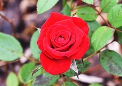 DSC_0960 (PeaTJay) Tags: nikond750 sigma reading lowerearley berkshire macro micro closeups gardens outdoors nature flora fauna plants flowers rose roses rosebuds
