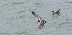 Gull J78A0871 (M0JRA) Tags: gulls birds flight flying wildlife rats walks gardens parks fields trees lakes ponds ducks swans rspb