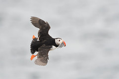Puffin banking (adbecks) Tags: puffin flight 300 pf f4 vr lens review nikon wildlife photography uk