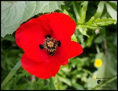 Rosso!! (Enrico Moser) Tags: flora flowers fiori flores camino navarra spagna espana em1 macro santiago