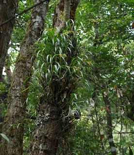 Prosthechea panthera in situ - Chiapas, Mexico