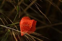 *** (pszcz9) Tags: przyroda nature natura naturaleza kwiat flower mak poppy zbliżenie closeup kropla raindrop bokeh beautifulearth sony a77