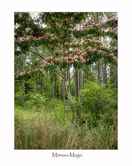 Mimosa Magic (TuthFaree) Tags: anythinggoesmondays forest tree ga georgia swga mimosa hss slidersunday 7dwf landscape nature green
