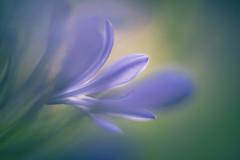 Agapanthus (michel1276) Tags: agapanthus schmucklilie flower flora flowerwatcher flowerscolors makro macro helios402 vintagelens manualfocus closeup