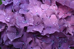 DSC_5744 (griecocathy) Tags: macro fleurs gouttelette eau hortensia rose violine