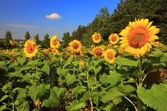 IMG_4755 Sunflowers (MariuszWicik) Tags: flower garden sky sunflower polska poland pologne polonia polish sun colour europe eu yellow green field mariuszwicik canoneos5dmarkii canon lens flickr agriculture flowerphotography macro