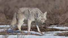 Coyote (Hammerchewer) Tags: coyote animal wildlife outdoor yellowstone