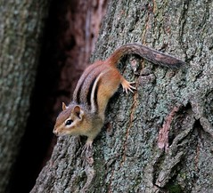 Chipmunk. (Gillian Floyd Photography) Tags: lynde shores conservation area