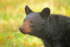 Black Bear portrait (hennessy.barb) Tags: bear blackbear ursusamericanus gsmnp greatsmokymountainsnationalpark greatsmokymountains cadescove mammal predator barbhennessy