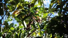 macaco (SGORLON.PHOTOGRAPH) Tags: macaco sgorlonphotograph sgorlon canont5 natureza naturalle fotografia photography