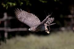 Astore - Accipiter Gentilis (carlo612001) Tags: astore accipitergentilis falconeria oasidisantalessio natura animali uccelli uccello rapace rapaci birds raptors hawk accipiter volo volare volando inflight