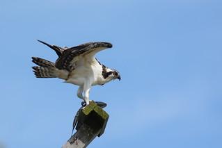 Osprey (Juv.)
