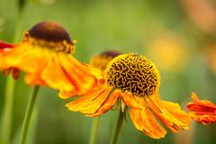 Sonnenbraut (hjuengst) Tags: sonnenbraut flower blume orange helenium asteraceae seeshaupt makro macro