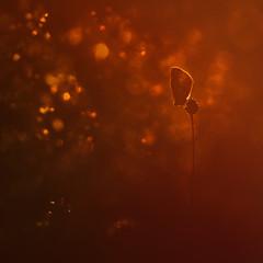 Sweet Dreams (www.neilburnell.com) Tags: macro wildlife golden light sunset butterfly bokeh meadow