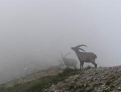 DSC09008.jpg (OnkelEnno) Tags: steinbock capricorn mist alpen alps austria österreich magic encounter